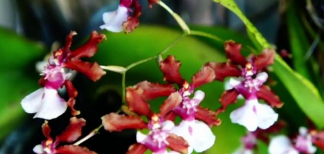 GUAYAQUIL, Ecuador. Se puede conocer un poco más de su historia, visitando el Jardín Botánico de Guayaquil, donde se pueden apreciar otros tipos de orquídeas, plantas, árboles y flores.