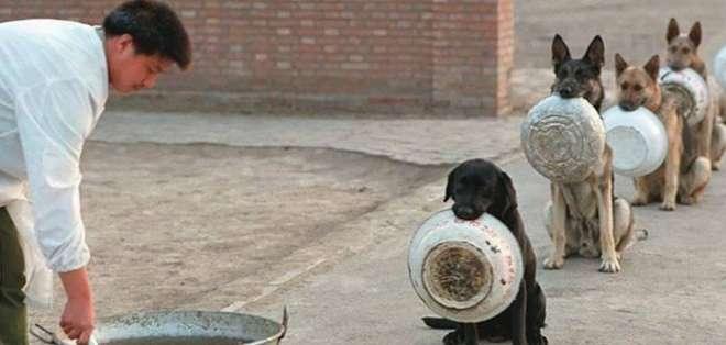 CHINA.- Bajo un buen entrenamiento, estos perros policía llegan a ser animales muy útiles y pueden lograr grandes hazañas,  Foto: Web.