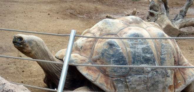 Los pequeños quelonios fueron retenidos en Perú el 17 de abril pasado. Foto: Archivo