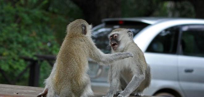 Las hembras incitan a los machos a luchar contra otros grupos rivales.