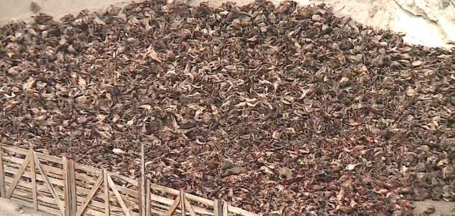 Habitantes de Saquisilí dicen que restos de cabezas de ganado contaminan ambiente.