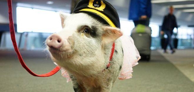 LiLou es la primera cerdita que forma parte del programa de terapia asistida con animales.