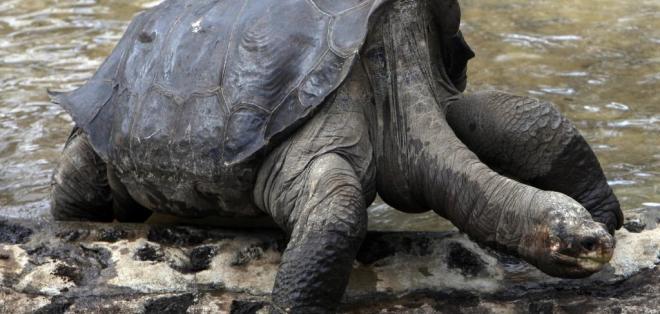 Su muerte en junio de 2012 entristeció al mundo porque El Solitario George era el último de su especie. Foto: AP