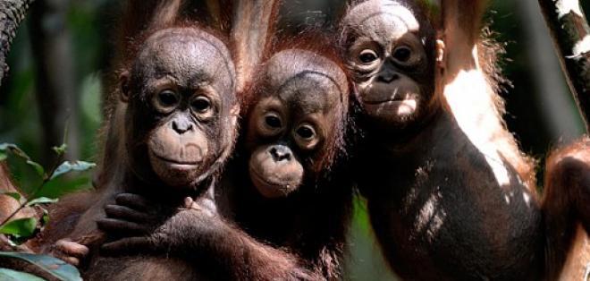El animal fue asesinado por empleados de una plantación de palmas aceiteras. Foto: AFP