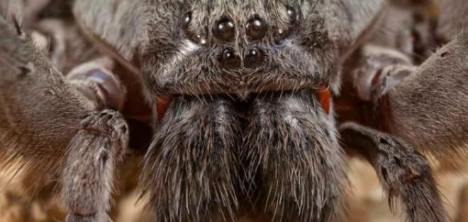 Tiene 2 enormes colmillos y supera los 10 centímetros de longitud. Foto: Museo de Historia Natural de San Diego