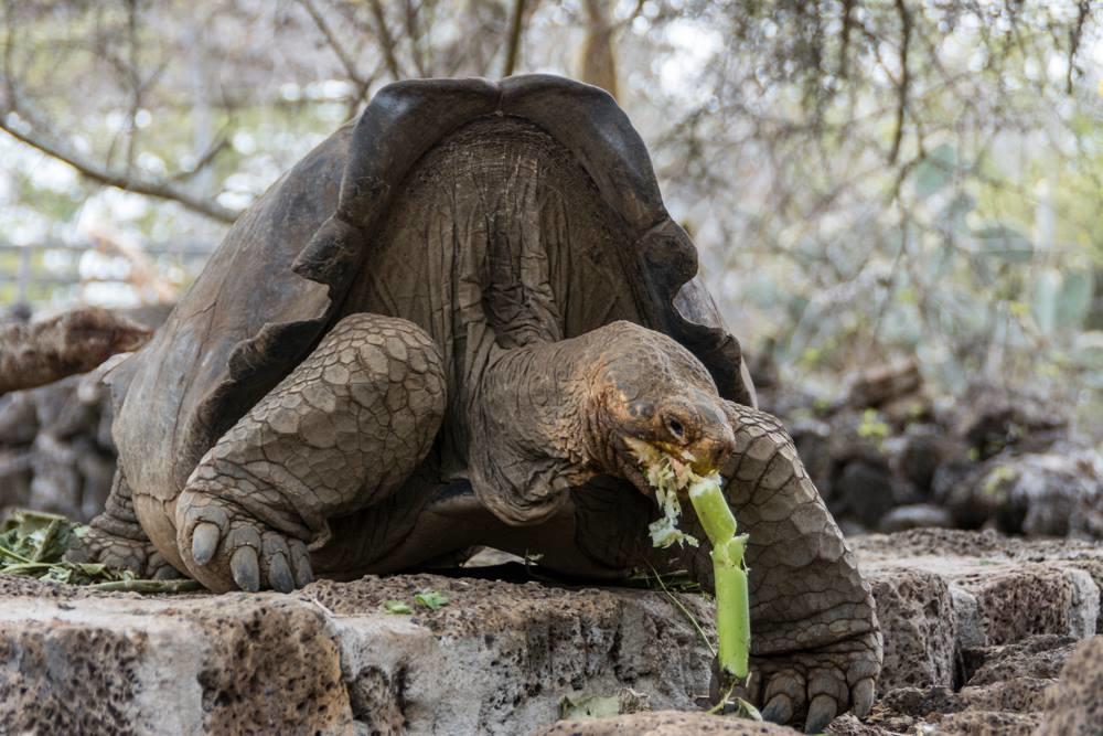 GALÁPAGOS, Ecuador.- Se espera que en  5 años se pueda contar con individuos listos para habitar en Floreana. Foto: Parque Nacional Galápagos.
