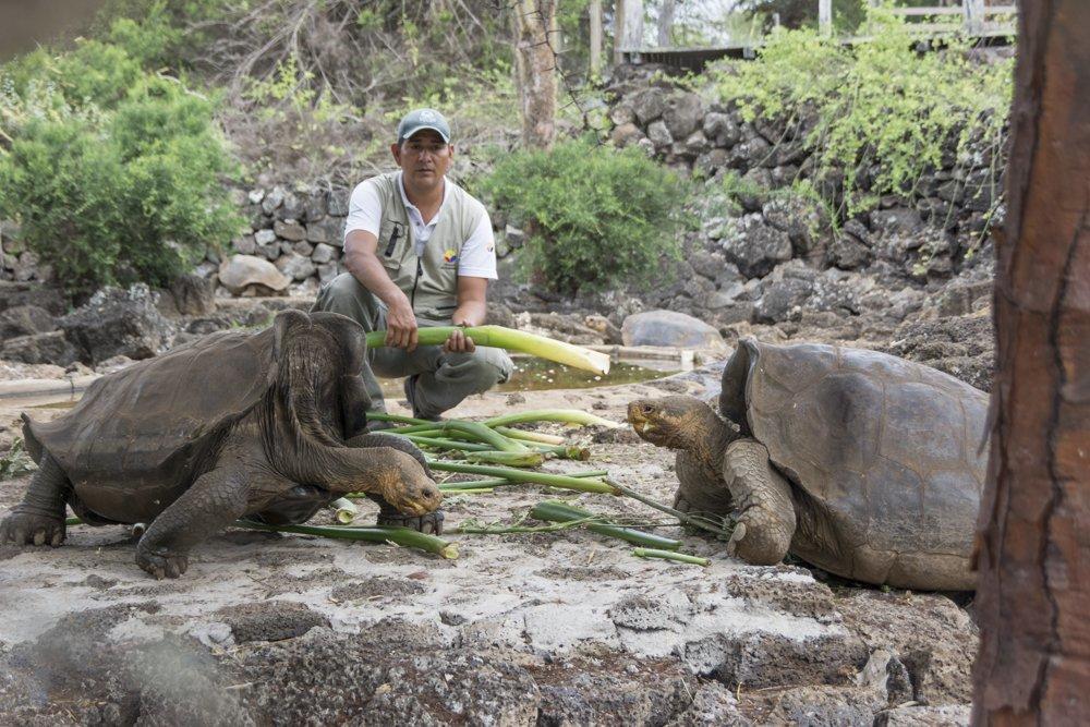 GALÁPAGOS, Ecuador.- Se espera que en  5 años se pueda contar con individuos listos para habitar en Floreana. Foto: Twitter Parque Nacional Galápagos.