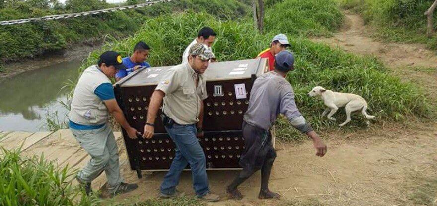 La especie fue trasladada hasta el Acuario Valdivia, en Santa Elena, para su revisión. Foto: Twitter Ministerio del Medio Ambiente.