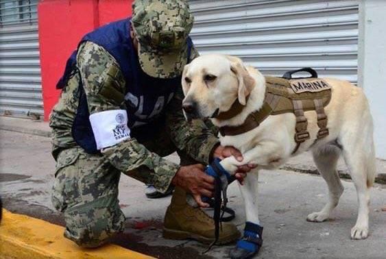 Frida también colaboró en búsqueda de extraviados tras el terremoto de 2016 en Ecuador. Foto: Twitter