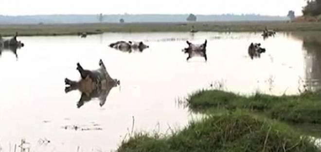 Un centenar de hipopótamos fueron hallados muertos en un río.