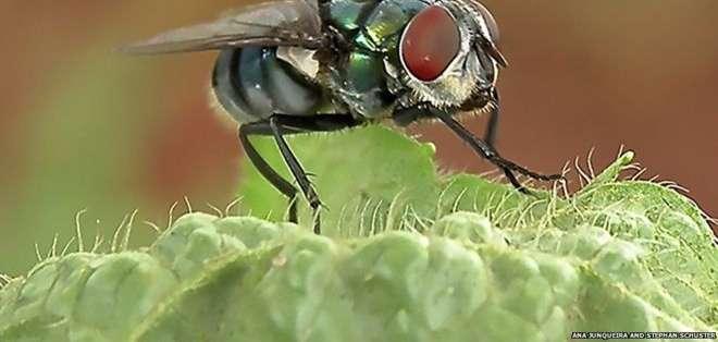 Los pelos en el cuerpo de las moscas atraen bacterias.