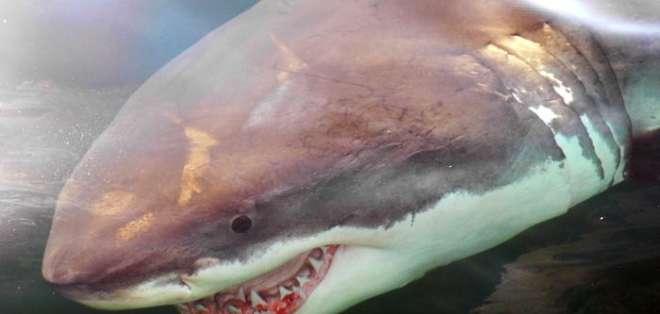 Tiburones se congelan hasta morir por las frías temperaturas en EEUU.