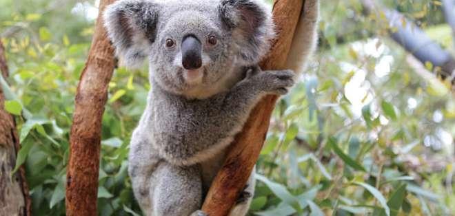 SÍDNEY, Australia.- Los koalas son la especie más emblemática de Australia. Se cree que quedan 330 mil. Foto: Tomado de Perth Zoo.