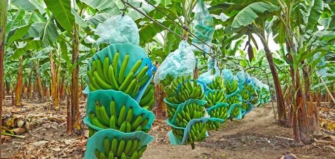 Banano y cacao son algunos productos que podrán entrar a ese mercado. Foto referencial / Archivo