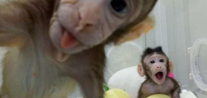 Zhong Zhong y Hua Hua tienen ocho y seis semanas de vida. Fueron clonados por científicos chinos en los laboratorios del Instituto de Neurociencias de Shanghai. Foto: Academia de Ciencias de China.