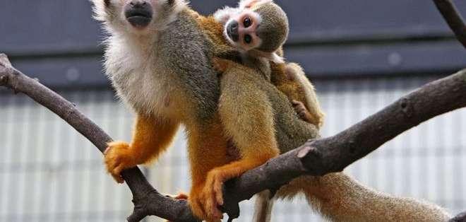 Los primates del género Saimiri, vulgarmente llamados monos ardilla, son originarios de América del Sur y Centroamérica. Foto: Getty Images