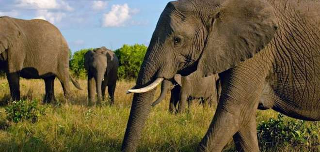 Actualmente existen 2 tipos de elefantes en África: de sábana y de bosque. Foto: AP.