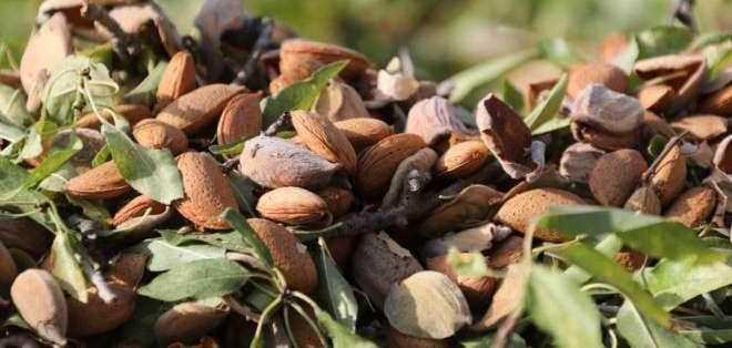 Ricas en ácidos grasos monoinsaturados, las almendras son uno de los alimentos más saludables. Foto: GETTY IMAGES