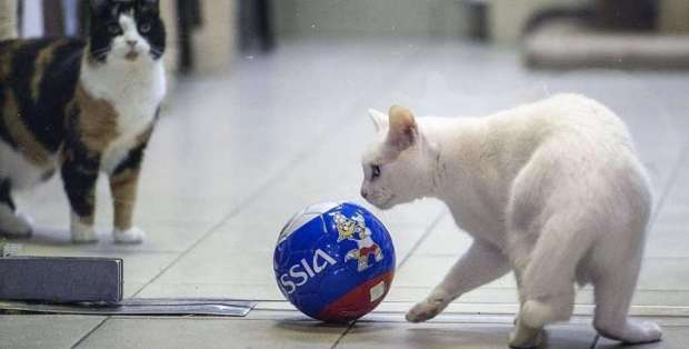 El gato Aquiles no fue un buen pronosticador en este Mundial. Foto: Archivo/AFP