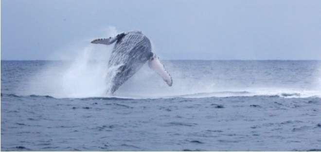 Inicia oficialmente la temporada de avistamiento de ballenas. Foto: Referencial