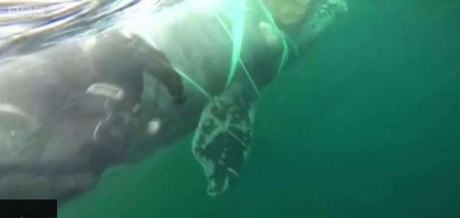 Chile: cómo lograron liberar a una ballena atrapada por una red de pesca.