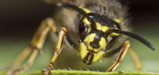 La visión negativa sobre las avispas es injusta porque son tan beneficiosas para el medio ambiente como las abejas.