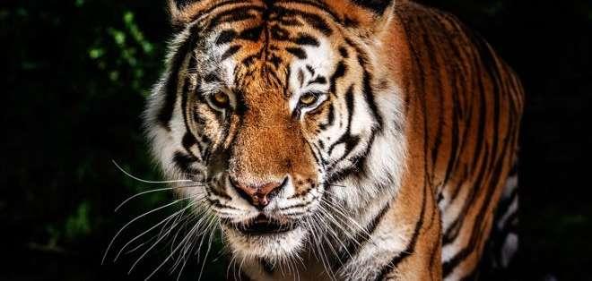 La misma fragancia de Calvin Klein ya fue usada para atrapar dos tigres en India.