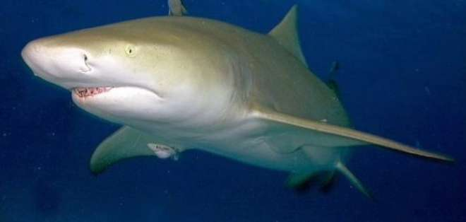Tiburón Limón Foto: Internet