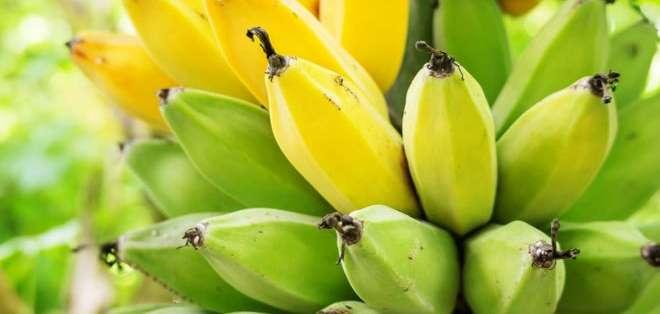 Las bananas son un alimento esencial en la dieta de cerca de 400 millones de personas en el mundo.