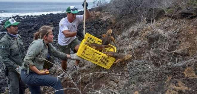 GALÁPAGOS, Ecuador.- Esta especie fue liberada en el marco de un programa de restauración ecológica. Foto: P. Nacional Galápagos