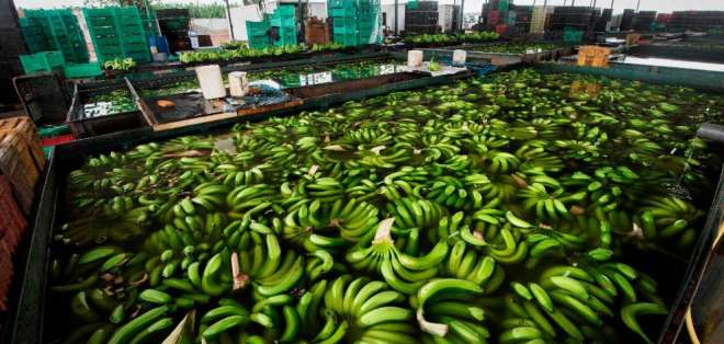 Ecuador es en la actualidad el mayor suministrador de plátanos a Rusia. Foto: Archivo