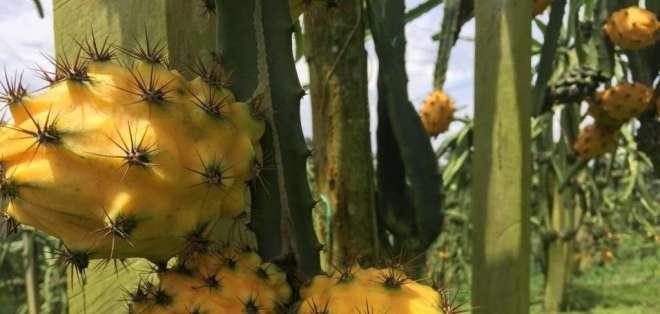 La exportación de esta fruta se realiza tras una producción libre de pesticidas químicos. Foto: Ministerio de