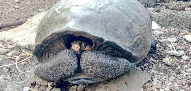 La Chelonoidis phantasticus es una de las 15 especies de tortugas gigantes del archipiélago.