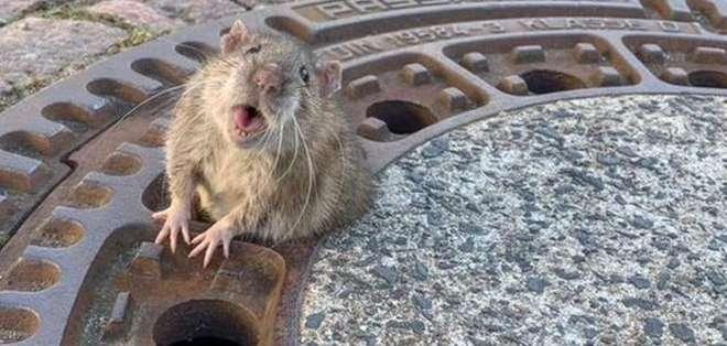 La rata tuvo suerte de que una niña la viera y pidiera ayuda para rescatarla.