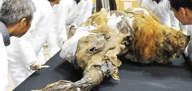Yuka, un mamut bebé, fue hallado en 2011 perfectamente preservado en el permafrost de Siberia.