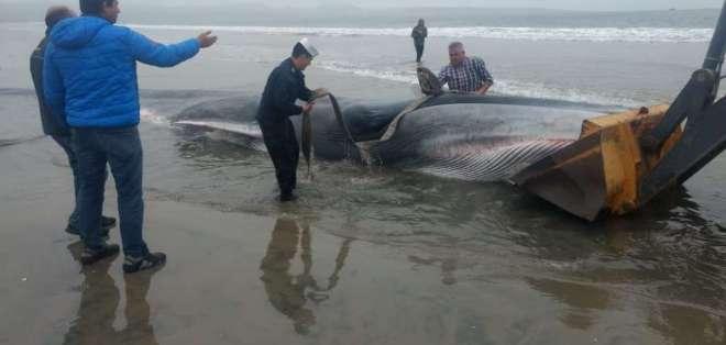El animal fue divisado por lugareños en una playa de Tongoy, al norte de Santiago. Foto: Armada Chile