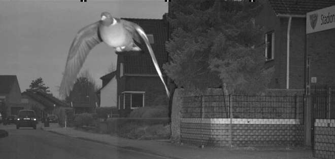 Una paloma muy rápida causó un revuelo en una ciudad de Alemania.