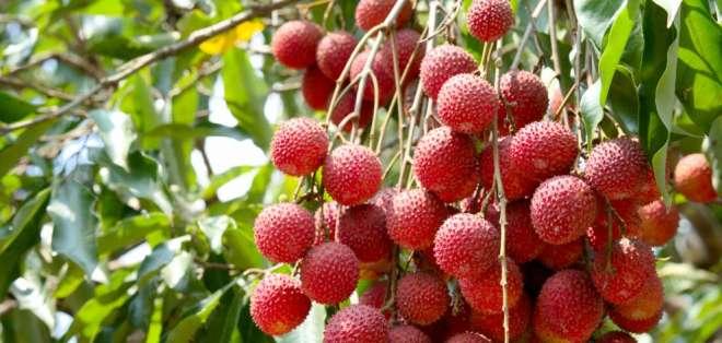 El virus cerebral estaría vinculado al fruto tropical lichis. Foto: iStockphoto