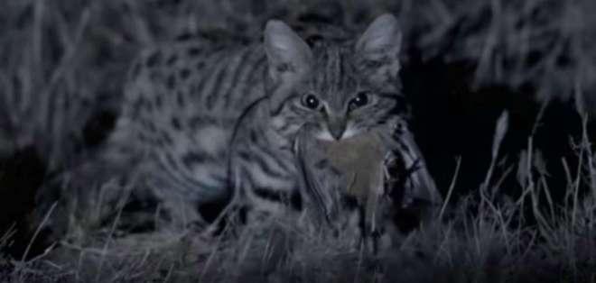 El felino, uno de los más peligrosos,  tiene 20 cm de alto y pesa entre 1 y 2.5 kilos. Foto: Captura