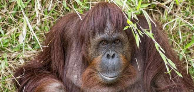 Los orangutanes, dotados de un miembro mucho más pequeño, son capaces de dejar en ridículo al hombre en cuanto a posturas sexual