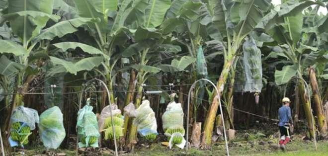 En Ecuador hay 16 mil productores de banano y plátano. Foto: Pro Ecuador