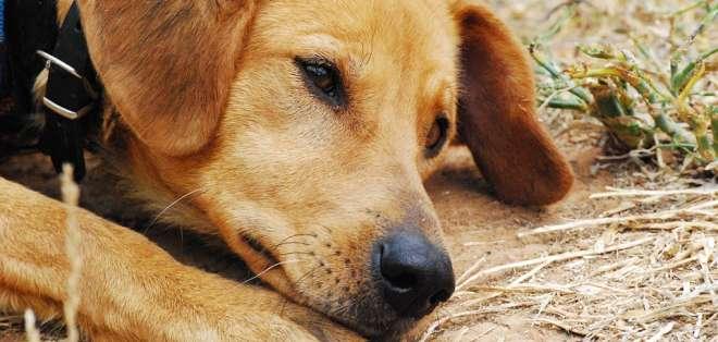 La CIA analizó colocar implantes eléctricos en el cerebro de perros para ver si podían ser controlados. Foto: Pixabay