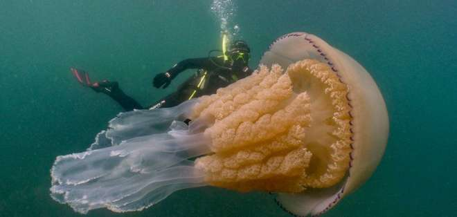 La medusa barril es la más grande en las aguas de Reino Unido.