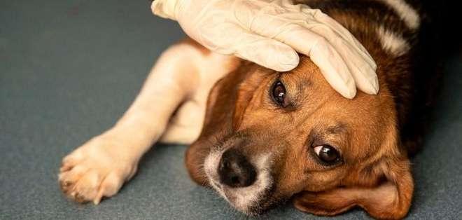 Los perros que han sido atacados por la enfermedad presentan síntomas severos de diarrea y vómitos.