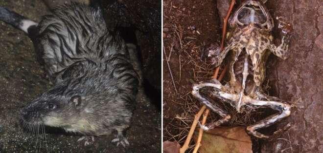 La rata acuática evita morir por intoxicación diseccionando el vientre del sapo e ingeririendo solo su corazón. Getty Images