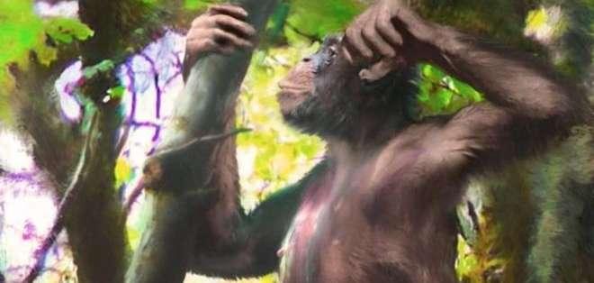 Danuvius guggenmosi tenía brazos similares a los de un bonobo, pero sus piernas eran similares a las de los humanos.