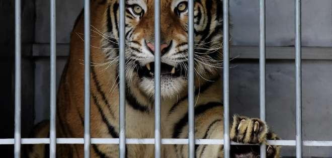 Los felinos fueron hallados hambrientos y debilitados. Foto: AFP