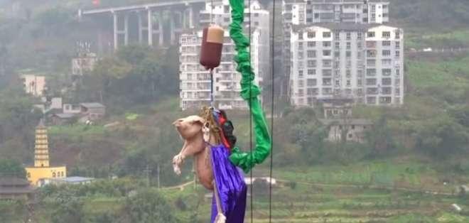 Tiraron al vacío un cerdo vivo para probar un juego en China. Foto: Captura de video