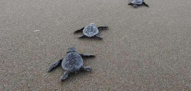 Tortugas en peligro. Las Tunas - Manabí. Foto: EFE