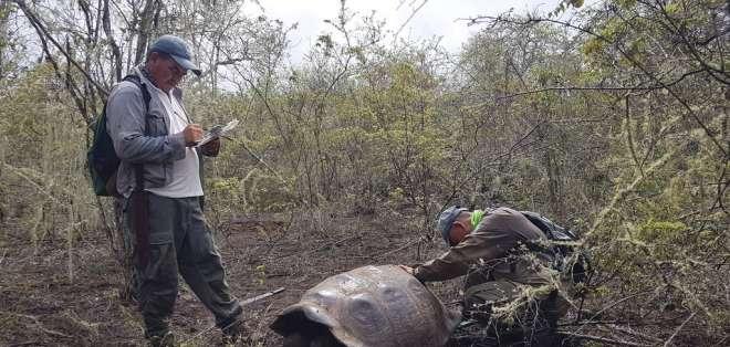 Trabajadores inspeccionan una tortuga cerca del volcán Wolf en esas islas de Ecuador.  Foto: AP
